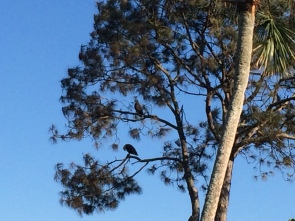 2 eagles in tree