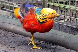colorful-chicken
