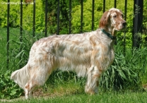 brown belton english setter